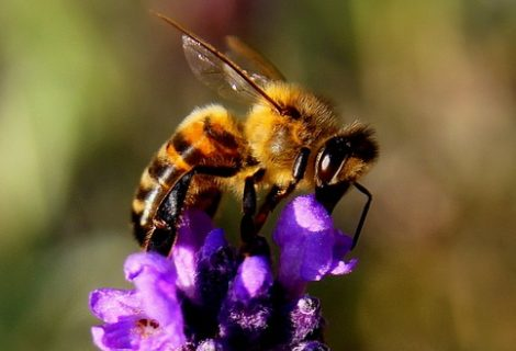 Honey Bee facts:
